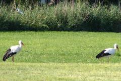 storchenfamilie_17-08-11_004