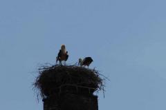 storchenberingung-03-05-2013_002