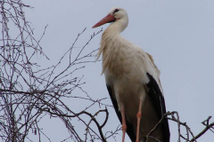 storch_011