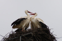 storch_015