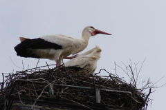 storch_016