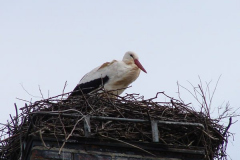storch_019
