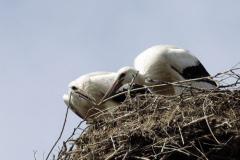 Storchenjungen-Fotos-Kurt-Pachl_002