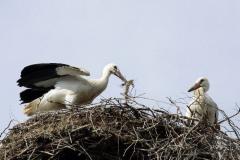 Storchenjungen-Fotos-Kurt-Pachl_004