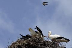 Storchenjungen-Fotos-Kurt-Pachl_011