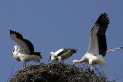 Storchenjungen-Fotos-Kurt-Pachl_015