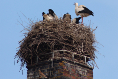 001-storchenfamilie-und-turmfalken_07-06-2016
