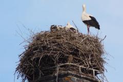 007-storchenfamilie-und-turmfalken_07-06-2016