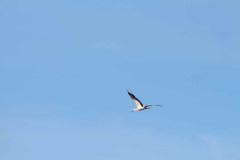 storchennachwuchs-fliegt_10-07-2016_001_029
