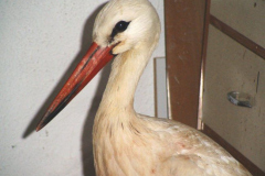 storch_01