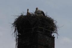 storchenfamilie-19-05-13_002