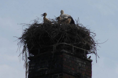 storchenfamilie-19-05-13_003