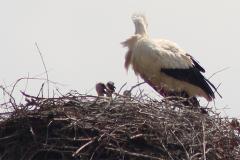 storchenfamilie-14-05-15_003