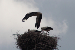 storchenjungen-15-06-14_004