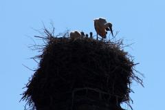 storchenfamilie-18-05-2019_005