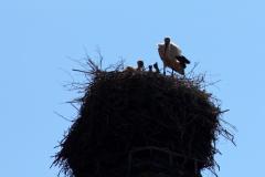 storchenfamilie-18-05-2019_006