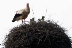 storchenfamilie-21-05-16_006