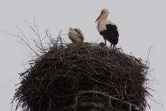 storchenfamilie-22-05-16_003