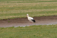 storch003