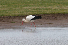 storch006