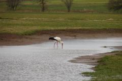 storch010