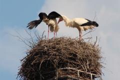 storchenfamilie-26-05-16_018