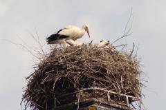 storchenfamilie-26-05-16_022