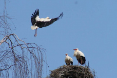 storch_003-1