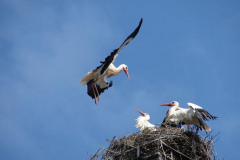 storch_004-1