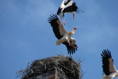 storch_007-1