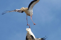 storch_010-1