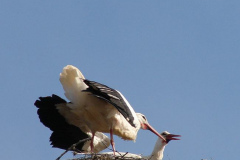 storch_011-1