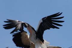 storch_012-1