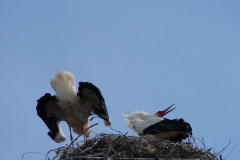 storch_013-1