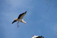 storch_019-1