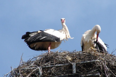 storch_024