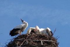 storch_003-4