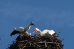 storch_004-4
