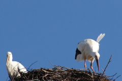 storch_007-4