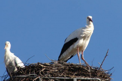 storch_008-4