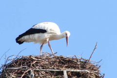 storch_010-4